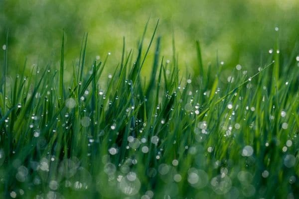 A close up picture of dew covered grass.