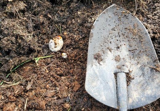 Grub Found in Lawn