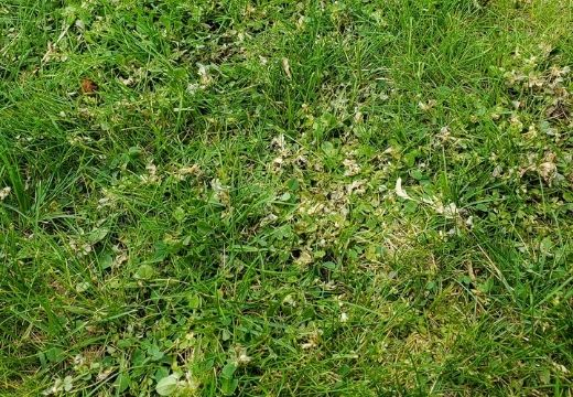 Weeds Dying In Grass